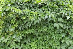 Bright green leafage of Parthenocissus quinquefolia. Bright lush green leafage of Parthenocissus quinquefolia Stock Photo