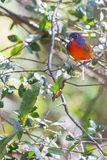 Male Painted Bunting In A Tree. A bright, male Painted Bunting perched in a tree Royalty Free Stock Photography