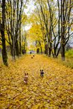Bright maple alley in autumn. Bright autumn maple alley and dog Welsh Corgi stock photography