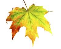 Bright maple leaf Stock Image