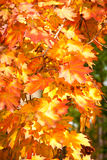 Bright maple leaves in autumn Royalty Free Stock Photo