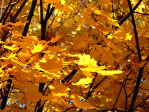 Bright maple. Maple leaves are burning in the sun Stock Photos