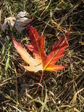 Bright maple red-orange leaf on the background of earth with grass. Bright maple red-orange leaf on the background of earth with grass stock image