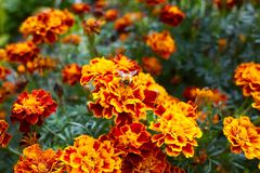 Bright marigold flowers closeup with a bee sitting in the middle of the flower, orange blooming background. royalty free stock photography