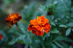Bright marigolds in macro photography stock images