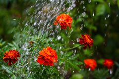 Bright marigolds under drops of water in macro photography stock photos