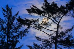 Bright moon rising behind a sitka spruce Picea sitchensis tree. Creating striking colors on a cloudy evening sky Stock Image