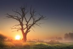Bright morning landscape in savannah with large old dry tree at sunrise against clear blue sky. Majestic tree in morning light in tall grass. sun on horizon Royalty Free Stock Image