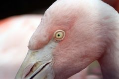 Pink Flamingo at a zoo in California royalty free stock photo