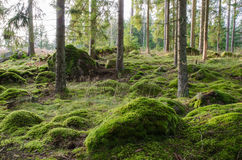 Bright and mossy coniferous forest Stock Images