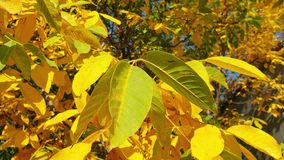 Bright multi-colored foliage sways in the wind. Autumn golden foliage