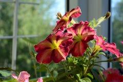 Bright multicolor petunia flowers on city balcony. Small urban garden. In sunny summer day stock photos