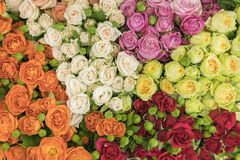 Bright multicolored bouquet of roses. Multicolored fresh roses background. Plenty of colorful bright roses close up.  royalty free stock images