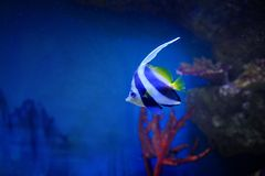 Bright multicolored fish among the corals at a depth of Royalty Free Stock Photography