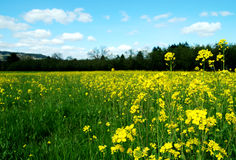 Bright Mustard Field. Bright field of wild mustard flowers in the spring/summer Stock Photo