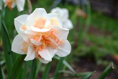 Bright narcissus in garden. In early spring Stock Photography