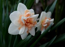 Bright narcissus in garden. In early spring Royalty Free Stock Photo