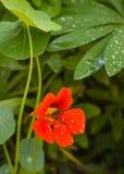 Bright nasturtium flower Stock Image