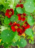 Bright nasturtium flowers with green colorful leaves royalty free stock photos