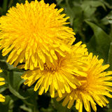 Bright open dandelion Stock Photos