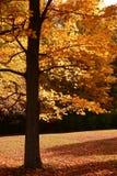 Bright Orange. Fall colors on a tree stock photos