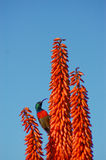 Bright orange aloe with sunbird Stock Photos