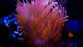 Bright orange anemones underwater. Detailed view of bright orange anemone tentacles flowing in the current underwater stock video footage