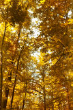 Bright orange autumn forest in the park Royalty Free Stock Photography
