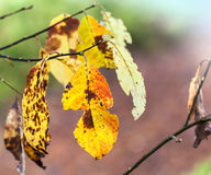 Bright orange autumn leaves on branch Stock Photos