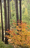 Bright Orange Autumn Maple in Tall Pines royalty free stock photography