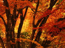 Bright Orange Autumn Tree Stock Image