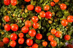 Bright orange berries and small green leaves of nertera plant. T Royalty Free Stock Photo