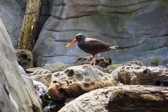 Bright orange bill Oystercatcher coastal bird Stock Photo