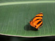 Orange with black stripes butterfly sitting on the green leaf. Bright Orange with black stripes butterfly sitting on the green leaf Royalty Free Stock Photo