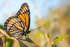 Bright orange and black Viceroy butterfly Royalty Free Stock Image