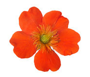 Bright orange bloom isolated on white. Bright orange flower isolated on white background Royalty Free Stock Photography