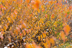 Bright orange bush under the first snow. Stock Images
