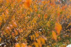 Bright orange bush under the first snow. Stock Photo
