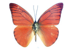 Bright orange butterfly. Orange exotic butterfly isolated on a white background royalty free stock images