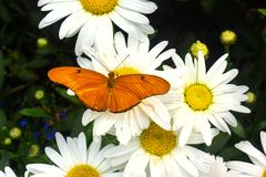 Bright orange butterfly on white daisies. This bright orange butterfly is the Dryas i. delila and is a female. The orange wings have distinctive markings. The royalty free stock photography
