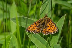 Bright orange butterfly in nature. Top view of a silver-bordered Fritillary, a bright orange spotted butterfly, sitting on green leaves in a meadow. Sunny spring royalty free stock images