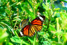 Bright Orange Butterfly Royalty Free Stock Photo