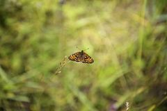 A bright orange butterfly resting on the meadow grass. `Brenthis ino` upper side, the lesser marbled fritillary, is a butterfly of the family Nymphalidae royalty free stock photos