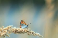 Bright orange butterfly sits on a summer field with a grass fea royalty free stock images