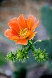 Bright orange cactus flower. A close up image of a bright orange cactus flower Royalty Free Stock Photography
