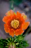 Bright orange cactus flower. A close up image of a bright orange cactus flower Stock Photos