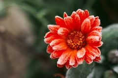 A bright orange calendula flower against a background of green leaves is covered with hoarfrost at the beginning of winter, close-. A bright orange calendula Stock Images