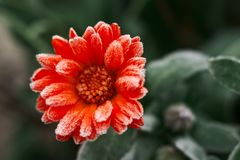 A bright orange calendula flower against a background of green leaves is covered with hoarfrost at the beginning of winter, close-. A bright orange calendula Stock Photo