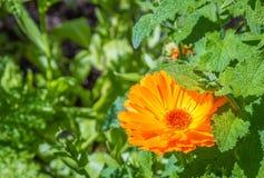 Bright orange Calendula flower in a garden Royalty Free Stock Photo