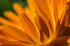 Bright orange calendula flower. Outdoors in sunny summer day Royalty Free Stock Photos